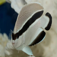 "4"" Bandit Angelfish (Hawaii)"