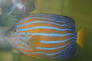 "Blue Line Angel | Chaetodontoplus Septentrionalis (6-8"")"