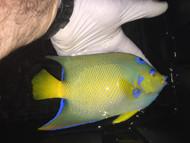"Queen Angelfish | Holacanthus Ciliaris | 8"""