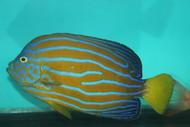 "Blue Line Angel | Chaetodontoplus Septentrionalis (5-6"")"