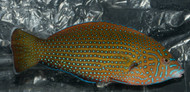 "Blue Spotted Tamarin Wrasse  (anampses caeruleopunctatus)-3"""