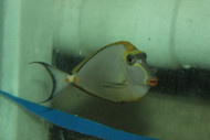 "Blonde Naso Tang (6"" Streamer Male)"