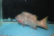 """Mexican Hogfish (Bodianus diplotaenia)-10"""""""