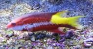 "Cuban Hogfish-Large(6"")"