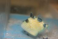 "Blue Line (Fuscus) Triggerfish (2-3"")"