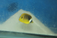 "Raccoon Butterflyfish (1"")"