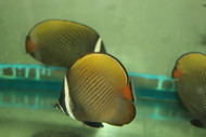 Collare (Pakistani) Butterflyfish -5-6""