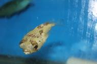 "Porcupine Pufferfish 3-4"""