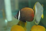 "Collare (Pakistani) Butterflyfish  3-4"""