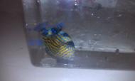 "Blue Line (Fuscus) Triggerfish (4"")"