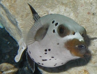 Dogface Pufferfish 3-4""