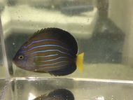 "Blue Line Angel |Chaetodontoplus septentrionalis (2-3"")"