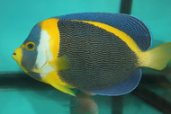 "Scribbled Angel | Chaetodontoplus duboulayi-Jumbo Male (9-10"")"