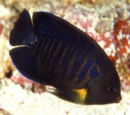 Yellowfin Pygmy Angelfish
