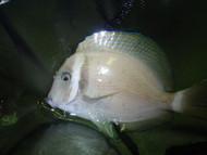 "White Bar Surgeonfish (4"")"