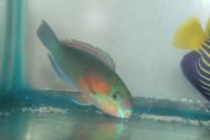 "Green Parrotfish (5-6"")"