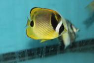 "Raccoon Butterflyfish (5-6"")"