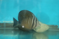 Desjardin Sailfin Tang (true Red Sea)-4-5""