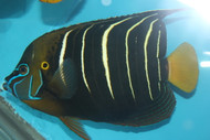 "Chrysurus Angel | Pomacanthus Chrysurus (show size 11-12"" Streamer male)"