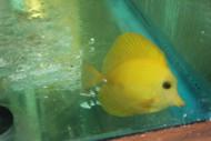 """Yellow Scopas Tang (3"""")"""