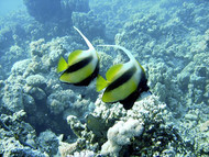 Red Sea Bannerfish | Heniochus Intermidius