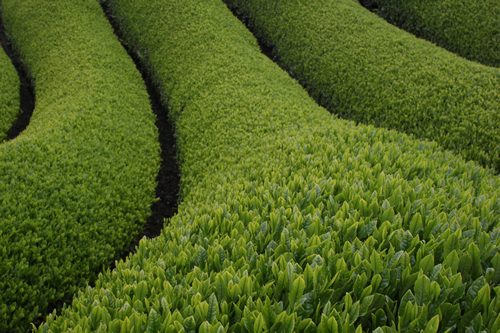 THE HEALTH BENEFITS OF GREEN TEA & GREEN TEA EXTRACTS