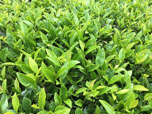Tsuyuhikari Cultivar - Japanese green tea