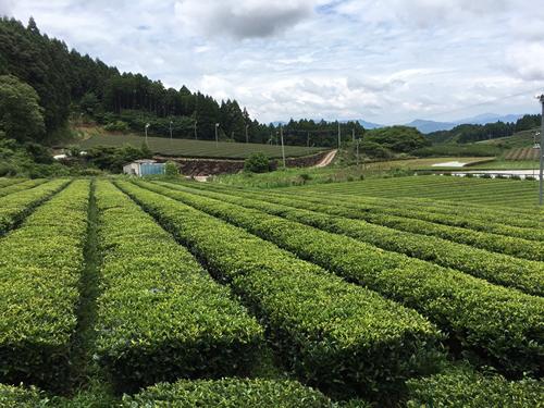 The tea garden of Ota tea