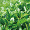 [JAS Certified/PREMIUM] Organic Kabuse Sencha ''Hako-iri Musume'' 50g (1.76oz) - image02