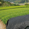 [JAS Certified/PREMIUM] Organic Kabuse Sencha ''Hako-iri Musume'' 50g (1.76oz) - image03