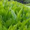 [Premium Grade/JAS Certified Organic] Kawane Sencha Green Tea 100g (3.52oz)