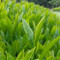 [Standard Grade/JAS Certified Organic] Kawane Sencha Green Tea 200g (7.05oz)