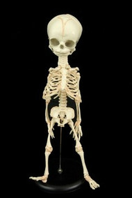 Fetal Skeleton With Stand Halloween Prop