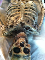 Corpsed Full Skeleton Halloween Prop