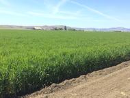 Atlas Barley