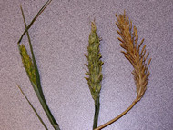 Belford Barley