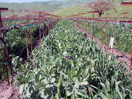 SoilMax Legume Mix w/ Organic Merced Ryegrain , Bell Beans & Peas