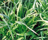 Atom Prairie Grass