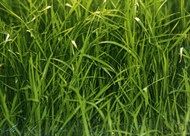 Kingsgate Perennial Ryegrass