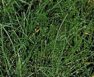 Boreal Creeping Red Fescue