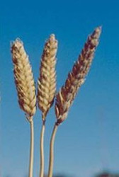 Yamhill Beardless Soft White, Winter Wheat