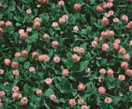 Palestine Strawberry  Clover OMRI Listed Coating