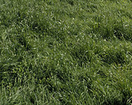 Bestfor Intermediate Ryegrass