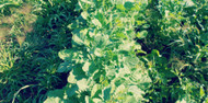PG584 Ethiopian Cabbage (Biofumigation) (55# bags)