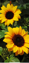 Sunflower, Black