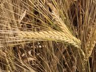 UC Tahoe 2 Row Malting Barley Seed