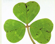 Subclover, Woogenellup