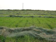 Corvallis Teff Grass Raw Seed