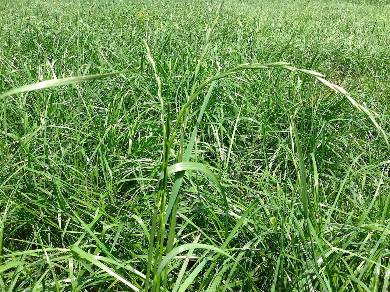 Payday Tetraploid Perennial Ryegrass Hearne Seed