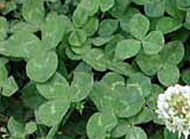 White Clover Legacy  OMRI coated